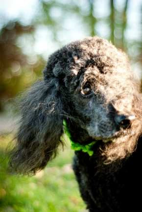 Today's Miss Elita (m.e.) News!: The Grand Master of Poodles…